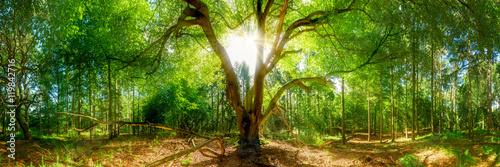 Wald Panorama mit Sonne - Sonnenstrahlen durchbrechen Baumkrone