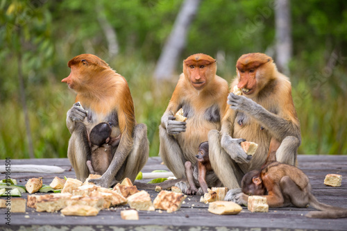 Fotografia  Group of female Proboscis Monkeys (Nasalis larvatus) endemic of Borneo sitting on the feeding platform in Sarawak