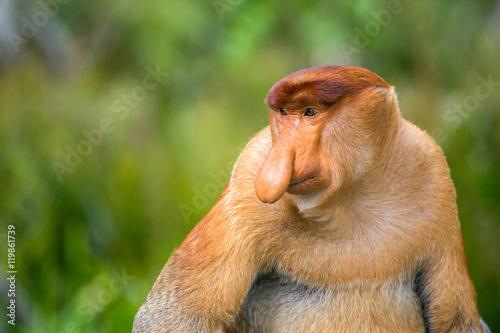 Singe Proboscis Monkey (Nasalis larvatus) endemic of Borneo. Male portrait with a huge nose.