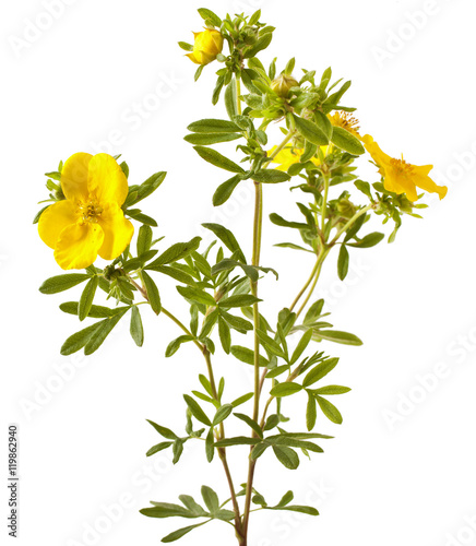 Foto  Shrubby Cinquefoil blooming, isolated on white background (Potentilla)