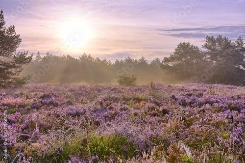 Foto auf Gartenposter Flieder Scenic image of sunrise over blooming pink moorland