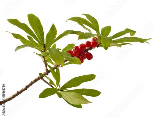 Daphne mezereum. Venomous plant on white background Wallpaper Mural