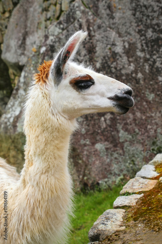 Foto op Canvas Lama Portrait of llama standing at Machu Picchu, Peru