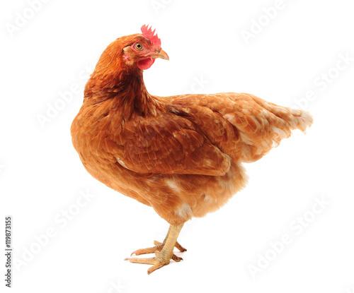 Fotobehang Kip The Lohmann Brown chicken