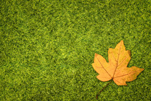 Green Grass And Yellow Maple Leaf