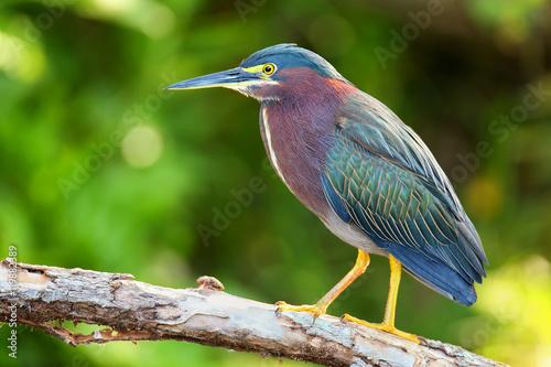 Stampa su Tela Green heron sitting on a tree