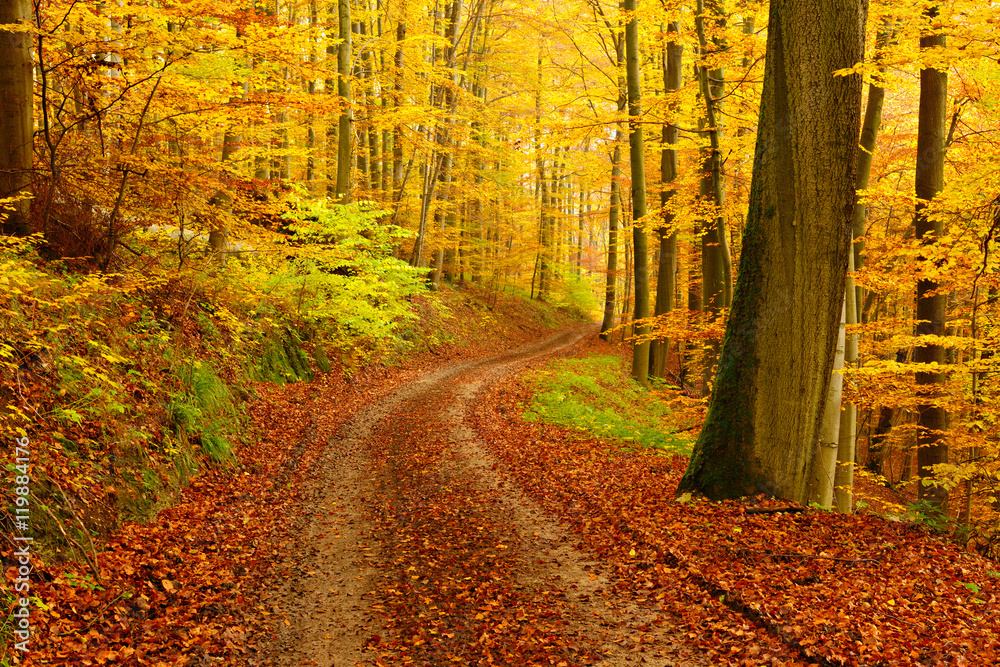 Fototapety, obrazy: Winding Dirt Road through Forest of Beech Trees in Autumn, Leaves Changing Colour