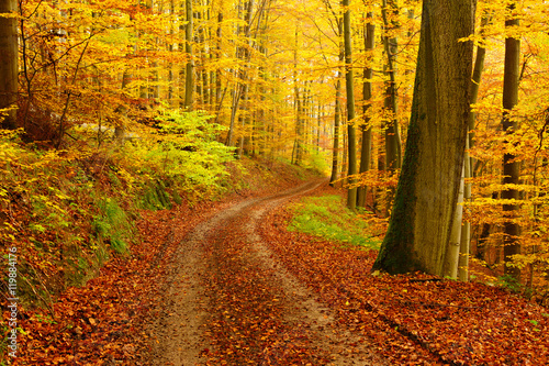 Obraz Winding Dirt Road through Forest of Beech Trees in Autumn, Leaves Changing Colour - fototapety do salonu