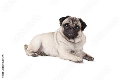 Recess Fitting Dog schattig mopshondje ligt op vloer en kijkt eigenwijs, geisoleerd op witte achtergrond