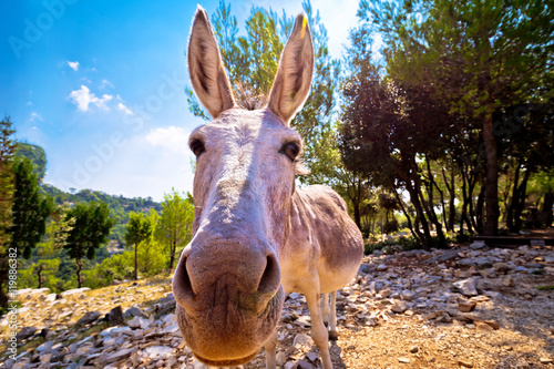 Dalmatian island donkey in nature