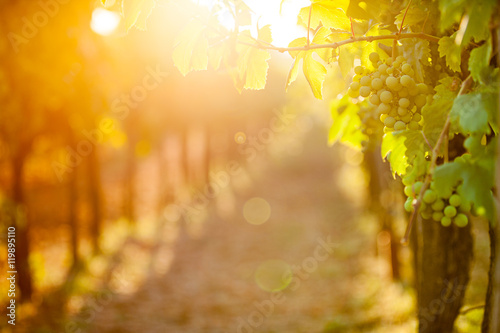 In de dag Wijngaard Whites grapes (Pinot Blanc) in the vineyard during sunrise.
