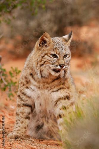 Fotobehang Lynx Bobcat sitting in a desert