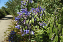 Lily Of The Nile (Agapanthus P...