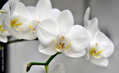 Foto auf AluDibond Orchideen Orchidee - weiß - Blüte - Rispe