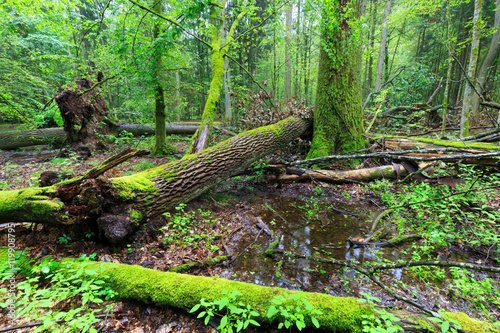 Fototapeten Wald Deciduous stand of Bialowieza Forest rain after in summer