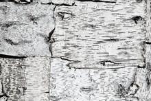 Texture Of Birch Bark. Backgro...