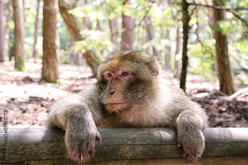 Fotografie, Obraz  Scimmia appoggiata ad un tronco in legno in una riserva naturale