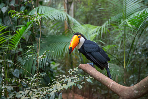 Tuinposter Toekan Exotic toucan brazilian bird in nature in Foz