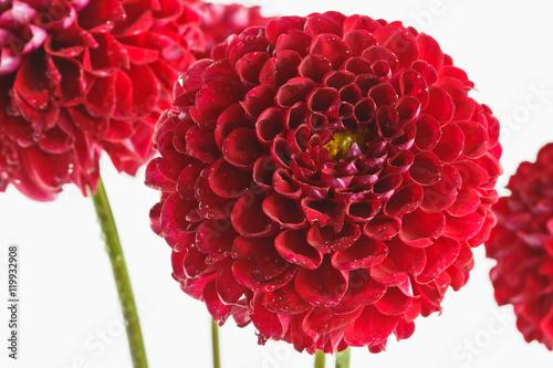 Poster Dahlia Red dahlias closeup