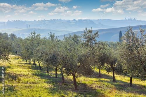 Tuinposter Olijfboom Autumn harvest landscape of Olive trees plantation