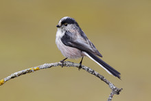 Long-tailed Tit, Aegithalos Ca...