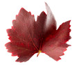 canvas print picture - red grape leaf isolated on the white background