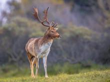 Male Fallow Deer Looking Aside
