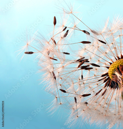 Fototapety, obrazy: Dandelion seeds: Hopes, wishes and dreams: We fly away to fulfill wishes :)