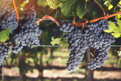 Fotografie, Obraz  Ripe Cabernet Franc grapes on vine growing in a vineyard at sunset time