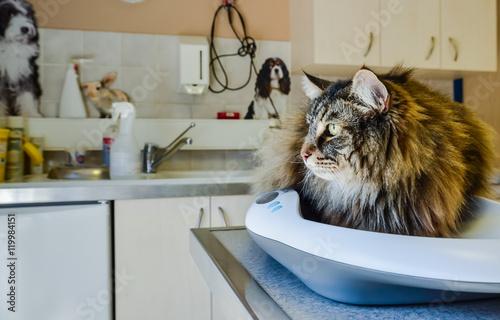 Foto  chat examen vétérinaire