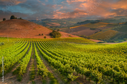 Fotografía  Rows of vineyard among hills on sunset
