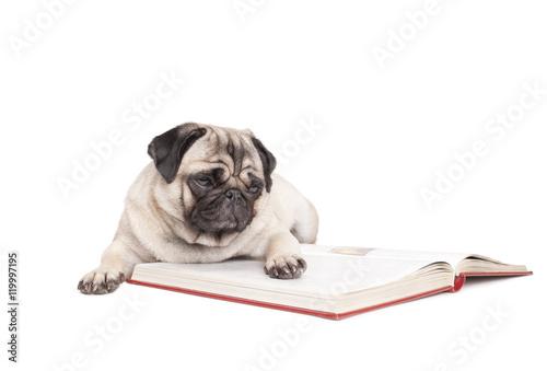 Poster Dog schattige hond, mopshond, ligt op de grond en leest boek, geisoleerd op witte achtergrond