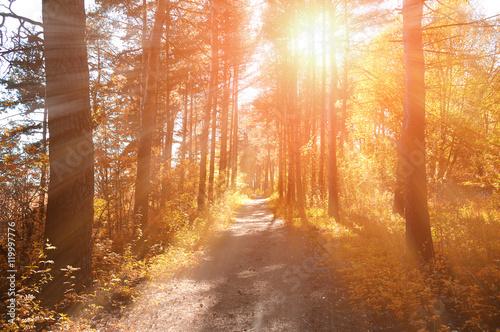 Fotobehang Natuur Forest sunny autumn landscape -row of autumn yellowed trees under autumn sunlight.