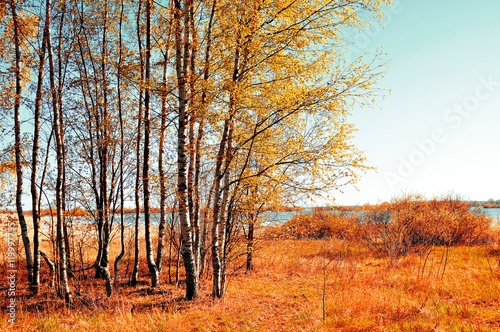 Deurstickers Oranje eclat Autumn colored landscape - small birch forest in autumn sunny weather. Picturesque autumn view.