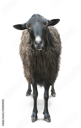 Papiers peints Sheep black sheep front view isolated on white back
