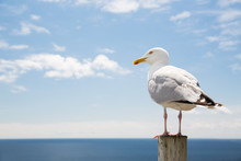 Seagull Over Sea And Blue Sky