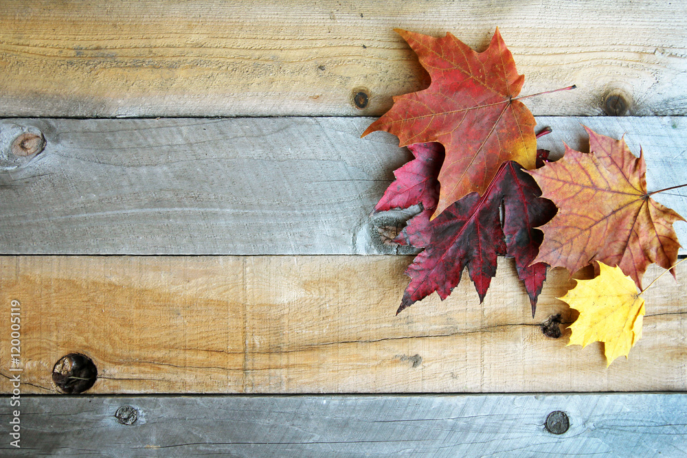Fototapety, obrazy: Autumn Sugar Maple Leaves Framing Rustic Wood Background