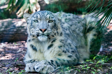 Fototapeta na wymiar snow leopard close up portrait look at you