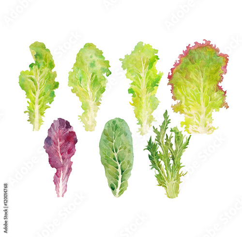 Fototapeta leaves lettuce watercolor on the white bachground obraz