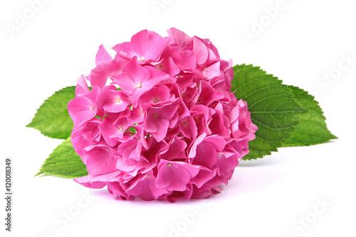 Fotobehang Hydrangea Fleur d'hortensia rose