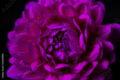 Poster de jardin Dahlia close up of a dahlia on black background