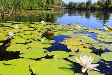 Nice Water Lilies On Pond