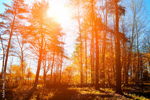 Deurstickers Oranje eclat Forest autumn sunny landscape - forest under sunlight shining through the tree tops.