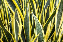 Large Sansevieriya Plants In T...