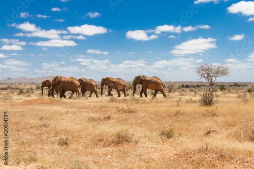 Group of elephants in the Savana, Tsavo National Park, Kenya