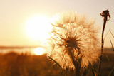 Fototapeta Puff-ball - Dandelion on sunset background