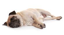 Pug Dog On A White Background