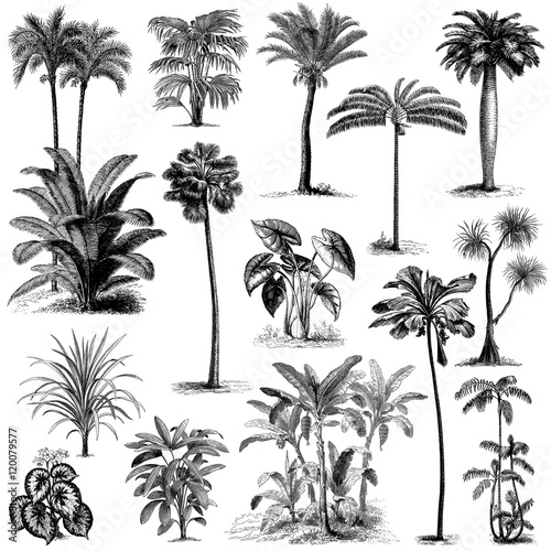 Fotografie, Obraz  Vintage hand drawn palm trees set 2