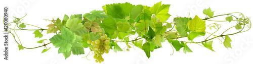 Fototapeta grappe de raisin blanc et pampres de vigne, fond blanc  obraz