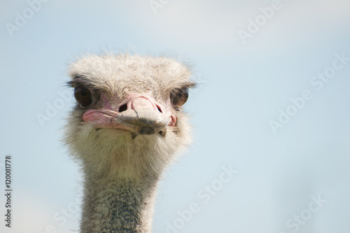 Stickers pour porte Autruche The head of an ostrich close-up (Struthio camelus)